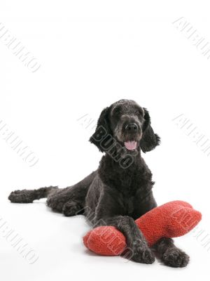 Labradoodle With Pillow