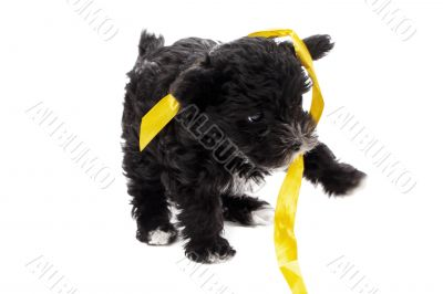 black puppy playing ribbon