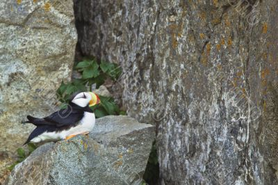 resting puffin