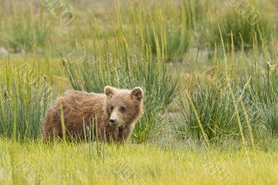 short bear cub