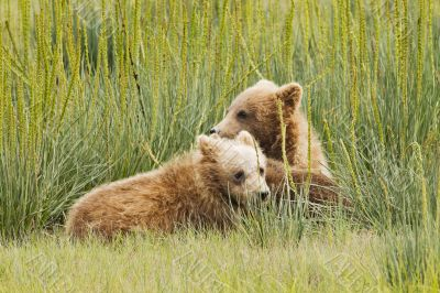 pair of cubs