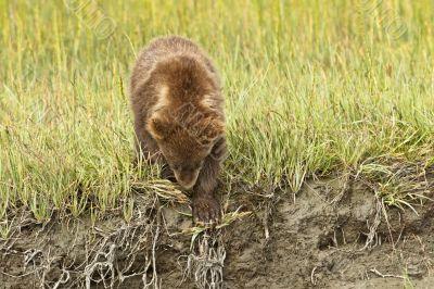climbing down cub