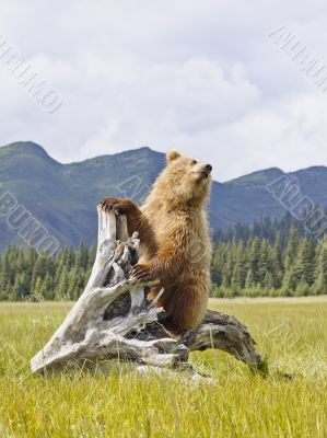 bear with mountains