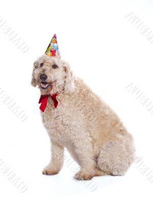 birthday labradoodle