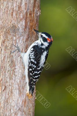 downy woodpecker grabbing onto tree
