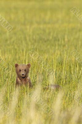 brown bear in grass