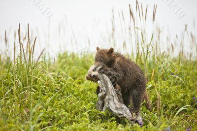 clambering bear cubs