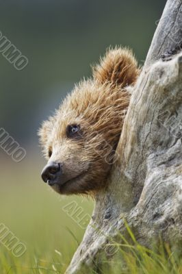 bear in stump