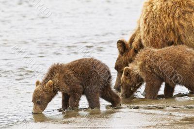 bears drinking