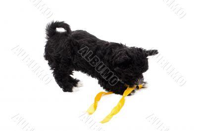 black puppy biting a ribbon