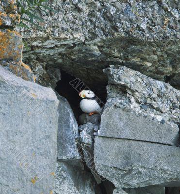hiding puffin