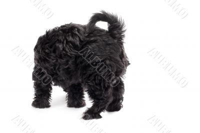 rear view of a black dog