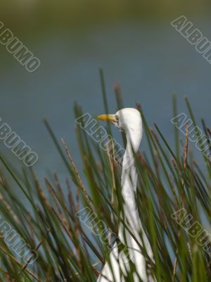 aquatic bird surrounded by grass