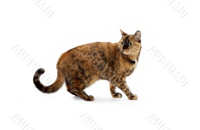 feline walking with head turned