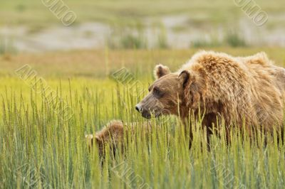 brown bear mother