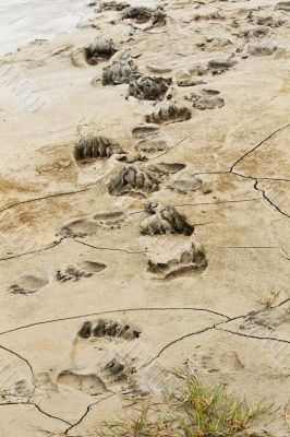bear prints in mud