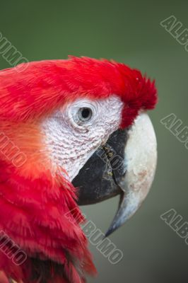 cropped red parrot head
