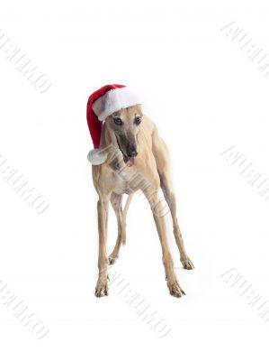 festive greyhound