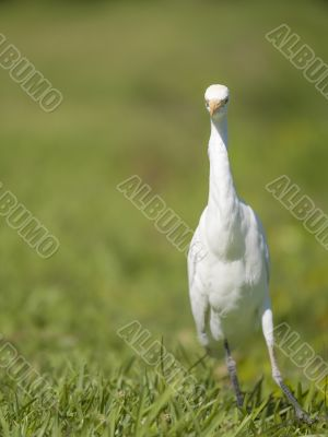 walking heron bird