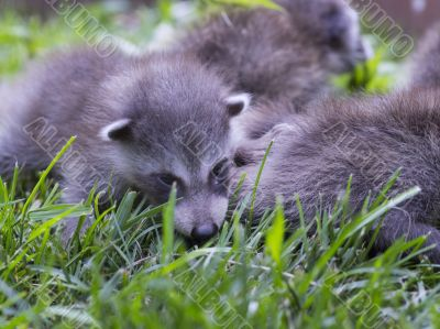 baby racoons