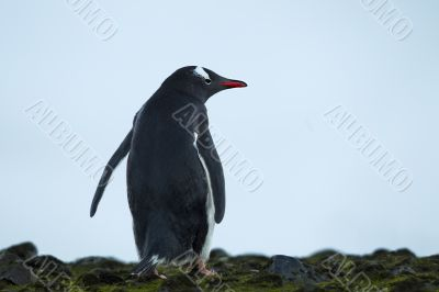 gentoo penguin rear view