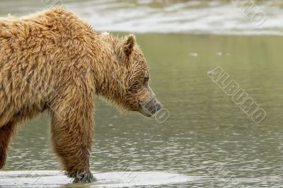bear walking into water