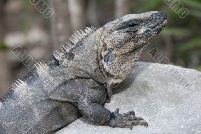 image of iguana