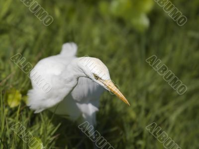heron bird on green grass