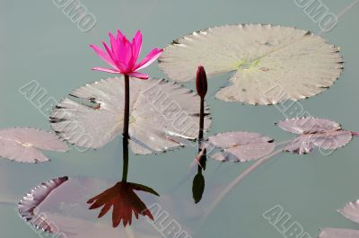 Pink lotus flower blooming in pond in the summer