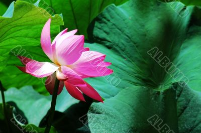 Lotus flower blooming in pond in the summer