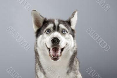 siberian husky with a big smile