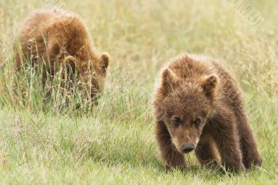 small bear cubs