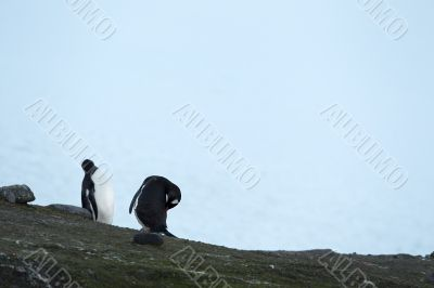 two gentoo penguins