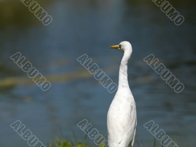 white egret with pond in background