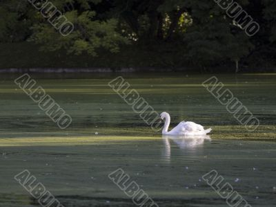 white swan in tuscany