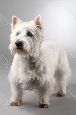 white terrier  dog