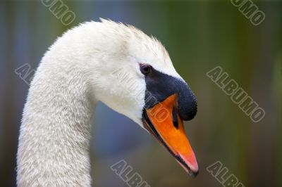 Up Close Swan Head