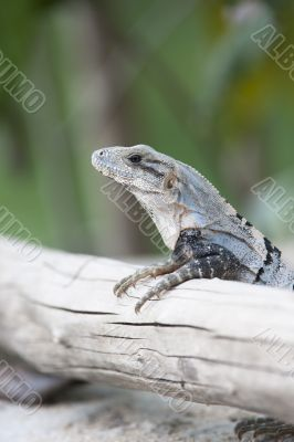 wild lizard on a branch