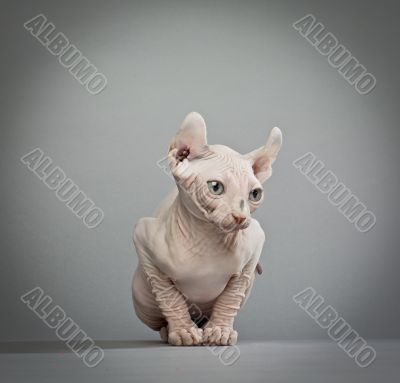 wrinkled elf cat