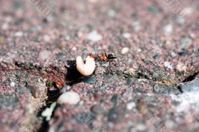 Ant during the removal of food