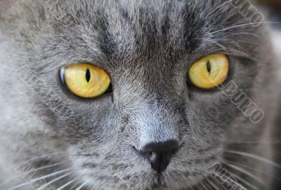 Cat`s portrait with yellow eyes