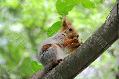 Eating squirrel on tree in park