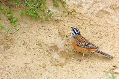 Rock Bunting. Background with bright, beautiful bird