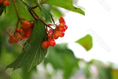 Rowan berry summertime on the branch
