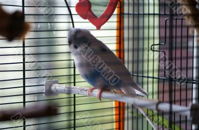 Budgie in the bird cage
