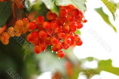 Rowan berry summertime on the branch