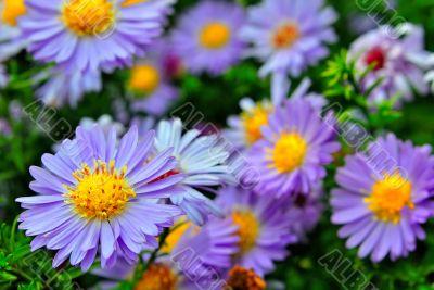Purple flowers
