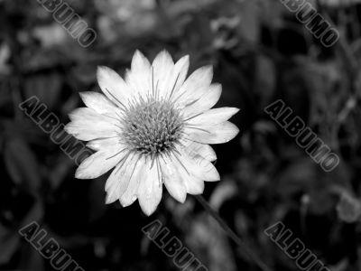 black-and-white flower.