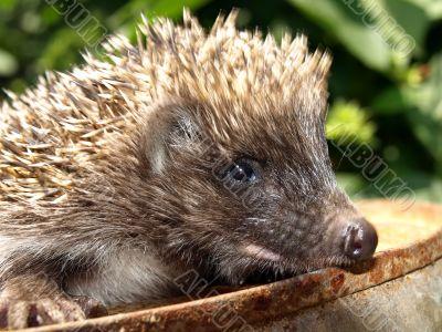 Young European hedgehog