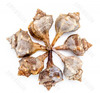 Purple or Spiny Dye Murex, bolinus Brandaris